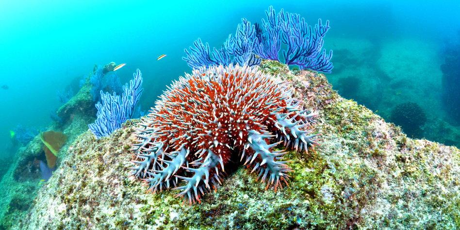 Der Dornenkronenseestern frisst das Great Barrier Reef auf