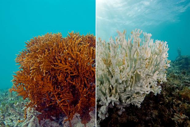 Korallenbleiche bei einer Feuerkoralle