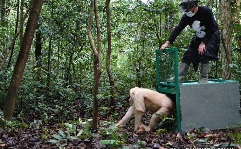 Weißer Orang-Utan Alba kehrt zurück in denDschungel
